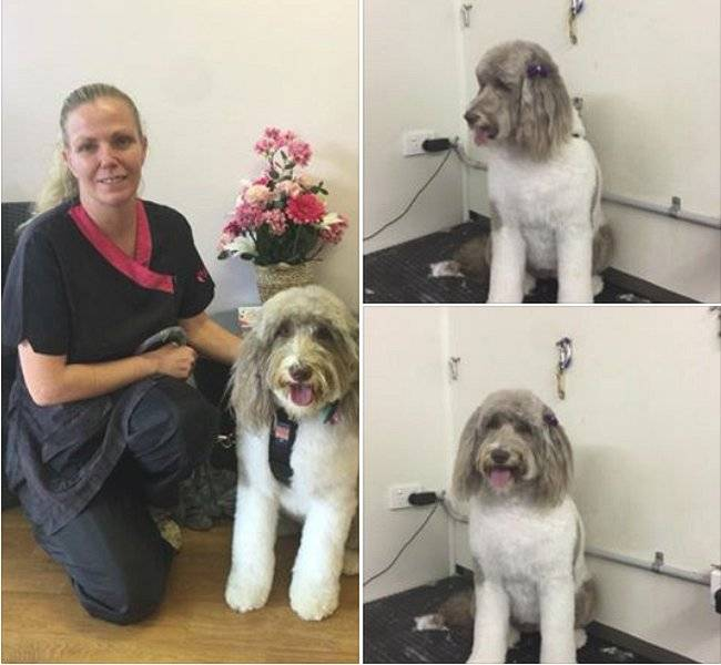 Full Body Clip Groom on a Labradoodle