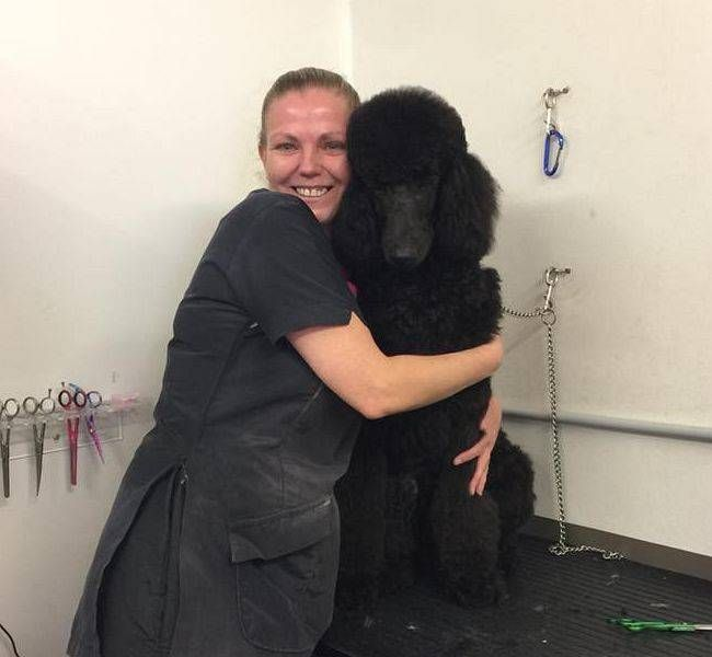 Full Body Clip Groom on Standard Poodle