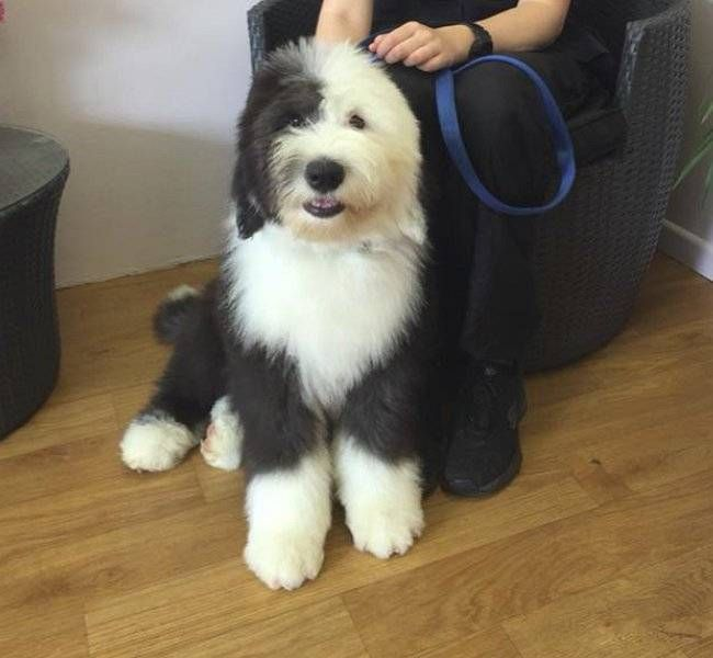 Brushout and Trim on Old English Sheepdog