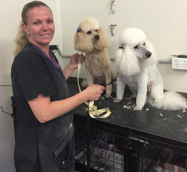 Poodles Monty and Carlo enjoying their monthly groom with Judy