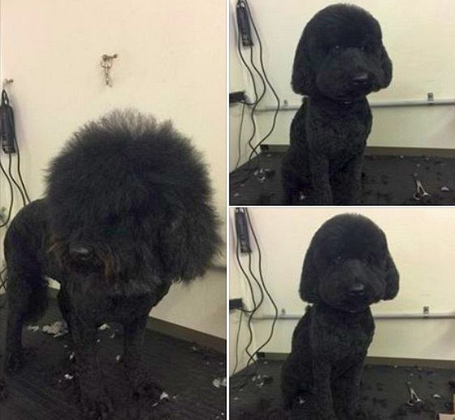 A bad hair day made beautiful for this poodle!