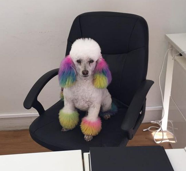 Part time receptionist Bailey the poodle after groom and colour