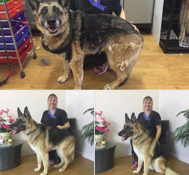 Brushout and Trim on German Shepherd