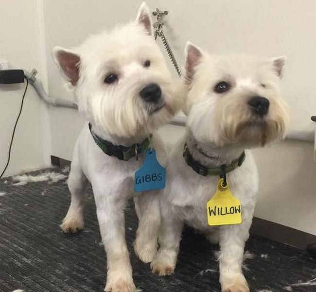 West Highland Terriers (Westies) Gibbs and Willow after their groom.